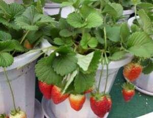 盆栽草莓种植方法:掌握好如下种植技巧 草莓多到吃不完